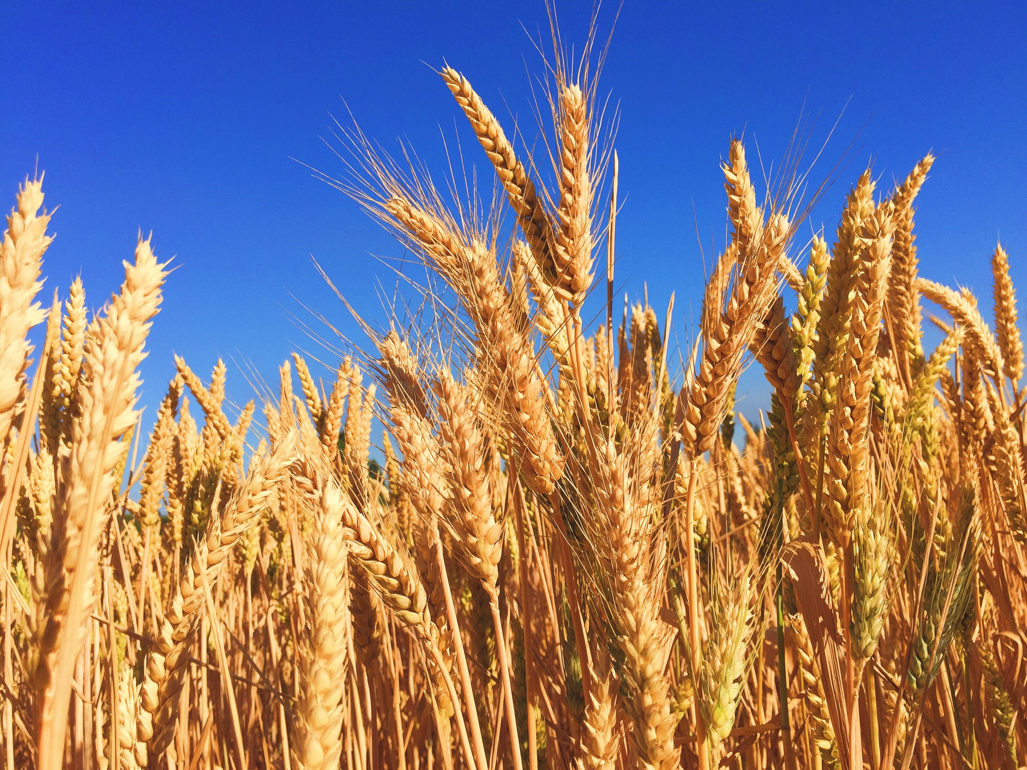 close up of wheat field with blue sky