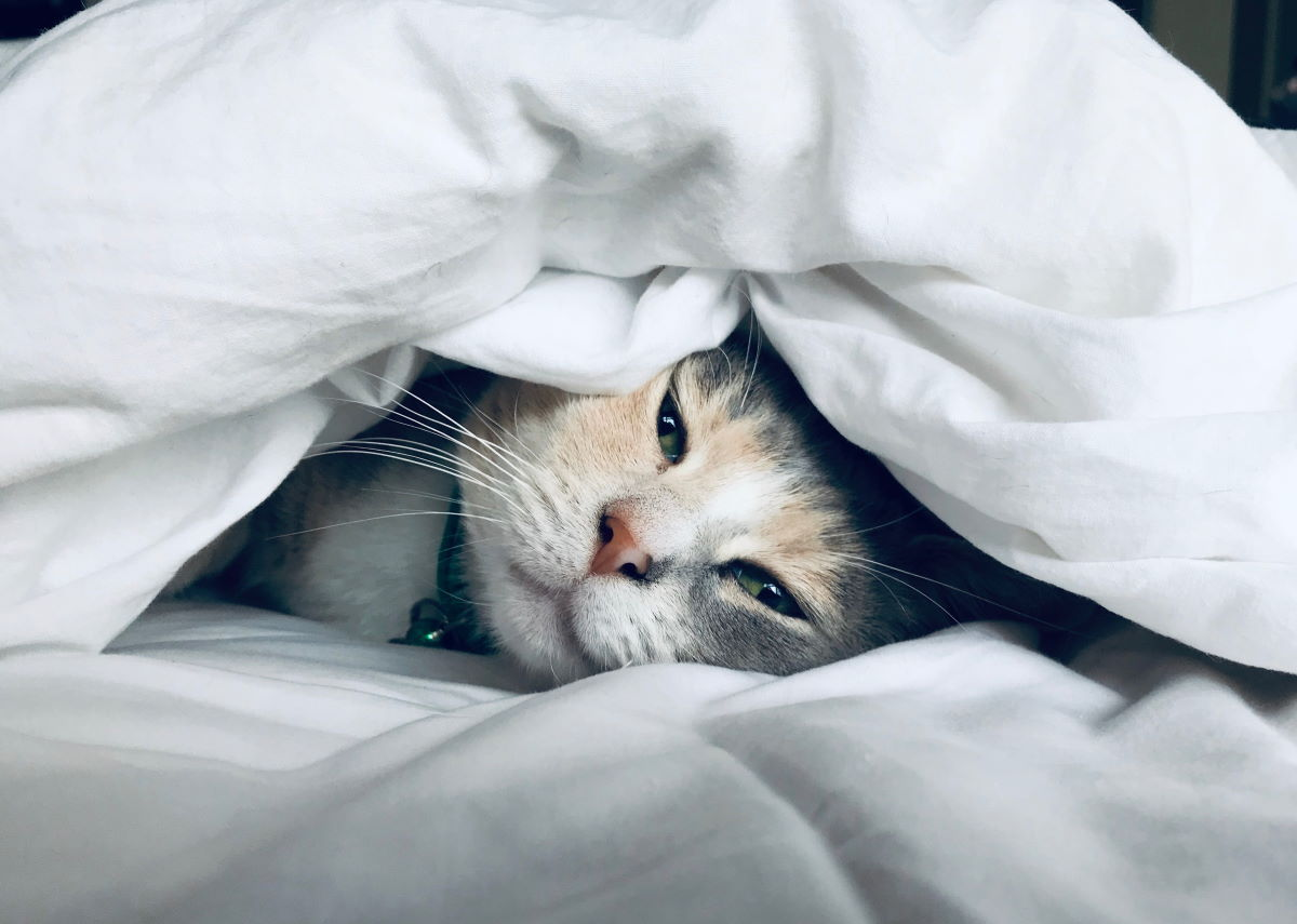 Sleepy cat under covers